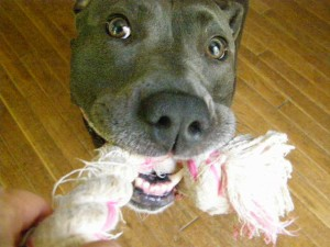 pet sitting, dog walking Duluth pet sitters play tug with dog