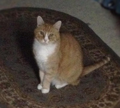 cat sitting Gibson with pet sitter in duluth, ga