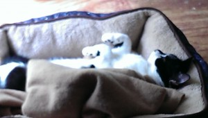 cat takes over dog bed at pet sitter in suwanee