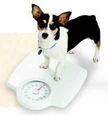 a daily walk would help your overweight dog burn calories.