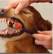 training dog to accept handling tooth brushing dog's teeth