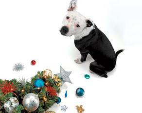 pit bull terrier with christmas tree in buford, ga