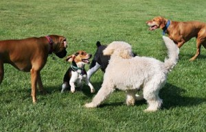 dogs playing at dog parks in Buford, GA is my dog playing or being aggressive?