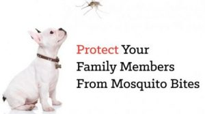 mosquitos and heartworms in dogs