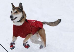 protecting pets paws with booties in ice and snow