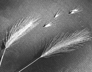 foxtails grass awn