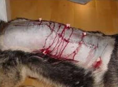 Damage Of Pulling On A Dog S Tail
