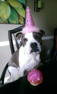 pitbull birthday